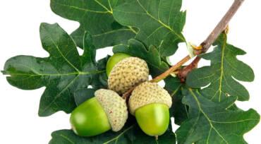 FAVPNG_acorn-leaf-oak-stock-photography-green_Uc1Rmgaz.jpg