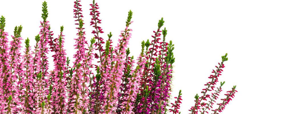 blooming-pink-heather-bush-pot